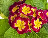 blooming primrose primula polyanthus top view close up