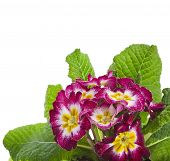 blooming primrose primula polyanthus close up isolated on white