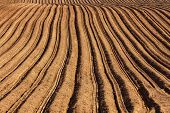 Rows and furrows in a newly planted potato field.