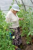 The Old Woman In A Hothouse Waters Tomatoes