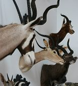 antelope trophy room