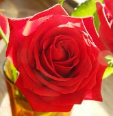 Beautiful flower - a big red rose, the symbol of love, with its petals closeup