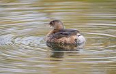 Pied-billed Grebe, winter plumage
