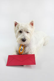 picture of westie  - You have dog mail  - JPG