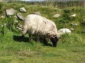stock photo of suffolk sheep  - one suffolk sheep on a green field - JPG