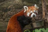foto of panda  -  The red panda  - JPG