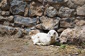 stock photo of jabal  - Image of a lamb Saiq Plateau in Oman - JPG