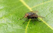 A macro photo of a Blue-bottle Blow fly