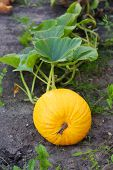 Big Yellow Pumpkin