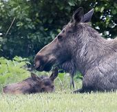 Постер, плакат: Soaking Wet Moose Calf And Protecting Mom