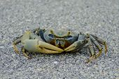 Blue crab in Florida Keys