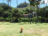 Golden Retriever Dog Walks Through Park With Diamond Head Crater In The Background