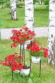 Red petunia in hanging pots