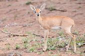 Small Steenbok Female Walking Carefully Over Open Dry Ground
