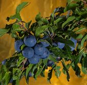 Blackthorn - Branch with fruites