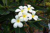 White plumeria after raining