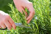 Gardener Gathers Rosemary Herb