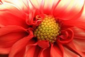 Macro image of Dahlia flower