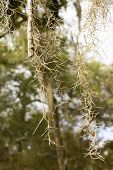 Close Up Of Spanish Moss