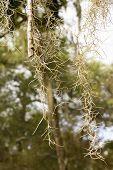 Close Up Of Spanish Moss