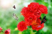Beautiful roses with butterflies in garden