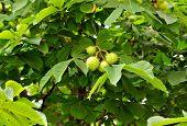 Chestnuts On Tree Branch