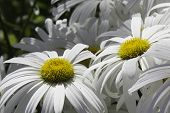 Oxeye Daisy pair - close-up