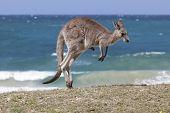 stock photo of kangaroo  - Jumping Red Kangaroo on the beach - JPG
