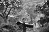 image of goshawk  - Trained hawk landed on a perch in the woods - JPG