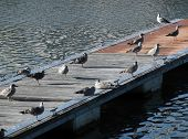 Bristol Harbour Gulls