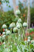pic of opiate  - Green Opium poppy field - JPG