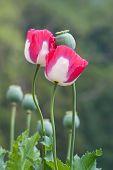 foto of opium  - Colorful of Opium poppy  field - JPG