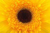 Macro Photo Of Yellow Gerbera Flower