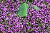 Blooming Pink Phloxes (phlox Subulata)