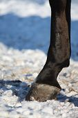 Close Up Of Horse Hoof In Winter