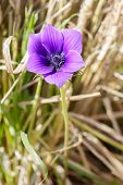Single Violet Anemone