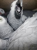 Confiscated African Grey Parrot (psittacus Erithacus) In A Crate
