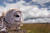 image of owls  - Close-up of a Barred Owl perched on a log with a beautiful field and sky background. The Barred Owl is primarily a bird of eastern and northern U.S. forests