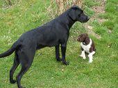 A Young Labrador Retriever Together Puppy Munsterlander