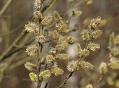 Willow Twig With Flowers