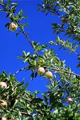 Ripening Apples On Branch