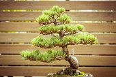 stock photo of bonsai  - close up of an old bonsai tree in a flower pot - JPG