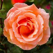 Beautiful Orange Rose In A Garden