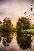 picture of weeping willow tree  - hdr shoot of a weeping willow mirroring in a pond - JPG