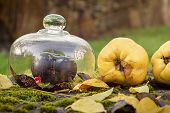 Autumn Outdoor Still Life With Quince, Black Apple And Leaves