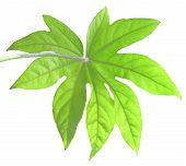 Monstera Leaf Isolated