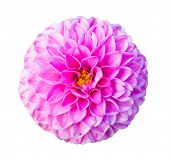 Pink perfectly circular dahlia flower