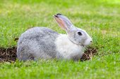 pic of rabbit hole  - Gray and white rabbit digs a hole on green grass meadow - JPG