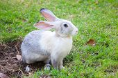 Gray And White Rabbit Sitting On Green Grass