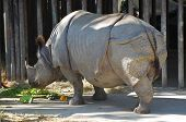 Indian Rhino.